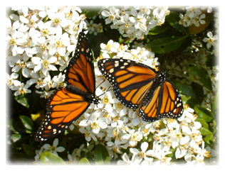Monarch Butterflies (photo © Nigel Venters)