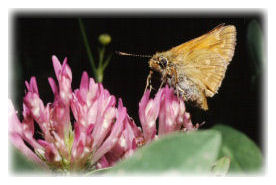 Small Skipper Butterfly on Red Clover