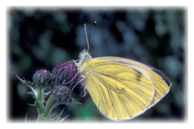 Green-veined White Butterfly on Dandelion