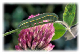 Clouded Yellow Butterfly Caterpillar on Red Clover