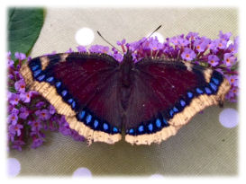 Mourning Cloak (Camberwell Beauty)